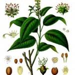 L' Olio di Croton Tiglium favorisce il cancro