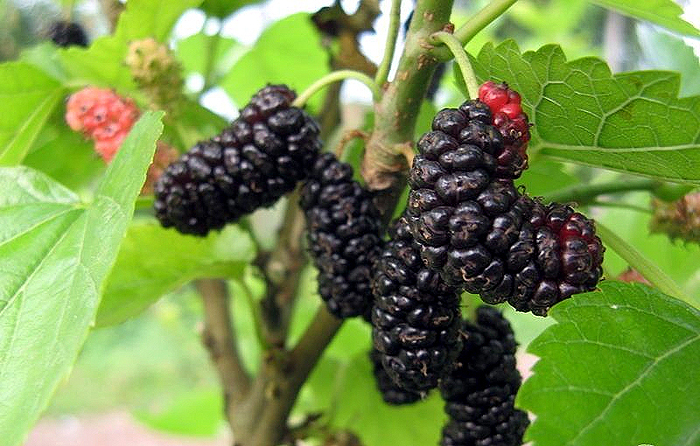 Mulberry-plant