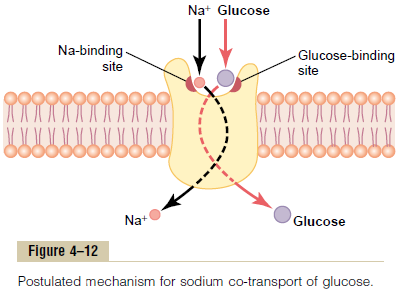 sodiumglucose-cotransport-mechanism_1