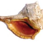I Molluschi di Mare, fonte di Preziosi Oligominerali