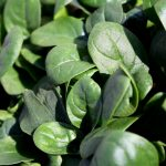 Nei cloroplasti delle Verdure Ci sono Strani lipidi Antinfiammatori