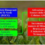 Il Te Verde Dimagrante Termogeno