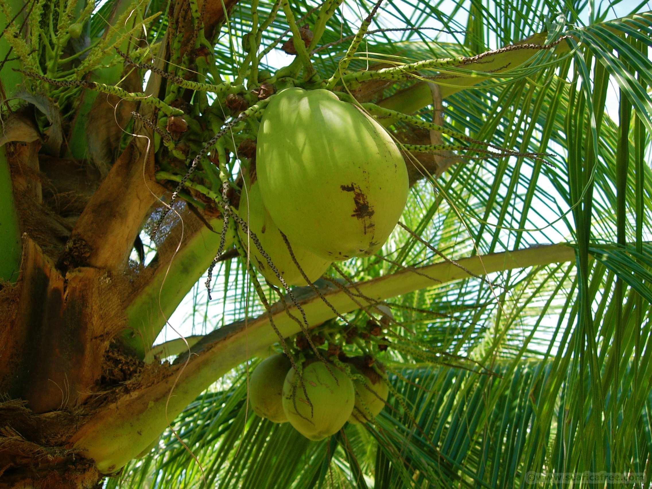 Zucchero e vino della noce di cocco alimentazione e for Pianta di cocco