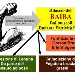 Il BAIBA: Ormone Brucia grassi