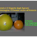 Il Pomelo: Il Gigante Tra gli Agrumi