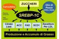 """Il Sensore dell'obesità """"SREBP-1C"""""""
