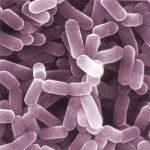 Lactobacillus Reuteri: Il Fermento che Aumenta la Vitamina D
