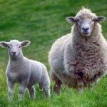 La Xenosialitis: un Infiammazione causata dal Consumo di carni Rosse e Latte