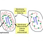 Creste Mitocondriali e Salute