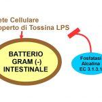 La Fosfatasi Alcalina Ci Aiuta a Tollerare i Batteri Intestinali