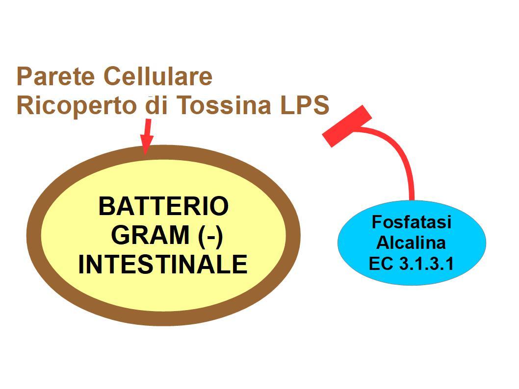 La Fosfatasi Alcalina Ci Aiuta a Tollerare i Batteri Intestinali -  ALIMENTAZIONE E NUTRACEUTICA
