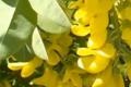 La Citisina: Una Sostanza Naturale Antifumo