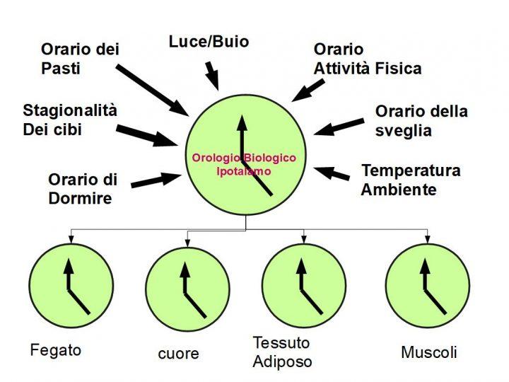 L'ambiente che ci circonda, regola le lancette dell'orologio biologico dell'ipotalamo, il quale a sua volta sincronizza gli orologi biologici degli organi periferici. Se ci sono grossi cambiamenti ambientali, le lancette dell'orologio biologico cambiano, e devono resettarsi anche gli orologi degli organi periferici; ciò può creare inizialmente turbolenza, che si manifesta con alterazione dei cicli circardiani.