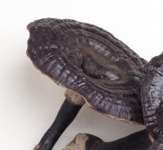 l Ganoderma Sinensis è simile al Ganoderma lucidum (reishi), solo che è di colore più scuro; recentemente è stato isolato dal fungo una sostanza antitumorale in grado di inibire l'esochinasi-2 delle cellule tumorali