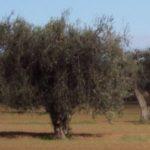 Biochimica dell'Olio di Oliva