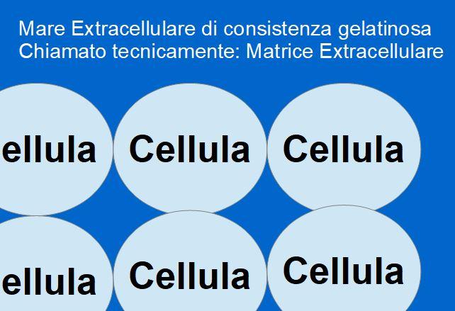 Le cellule dei nostri tessuti, sono circondate da un Mare Extracellulare di consistenza gelatinosa; Mantenere pulito questo Mare, contribuisce alla prevenzione dell'invecchiamento.