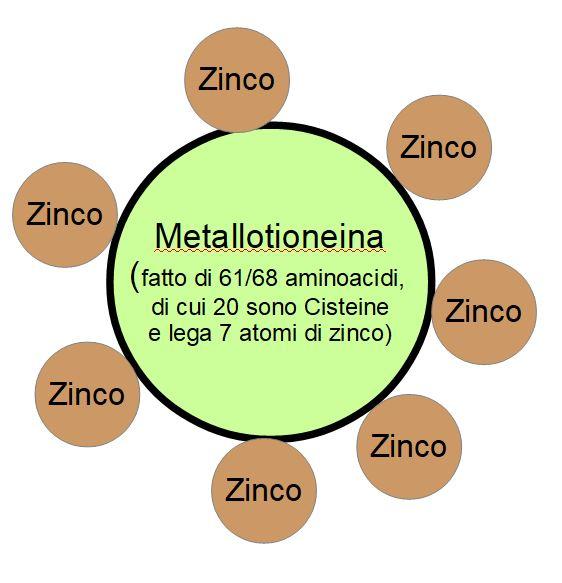 Schema grafico di come è fatta la metallotioneina, la proteina ricca di zinco e cisteina che neutralizza i metalli pesanti