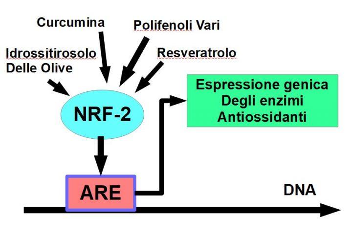Scudo antiossidante attivato dal recettore cellulare NRF-2, sotto lo stimolo dei polifenoli.