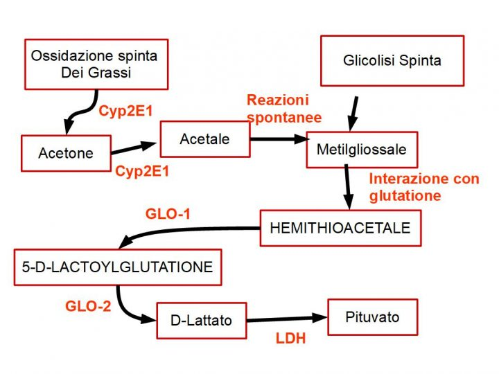 Enzimi coinvolti nella trasformazione dell'acetone in acido piruvici: Cyp-2E1 (citocromo-P2E1); GLO-1 (GLO-1 ovvero, gliossilasi-1 (EC4.4.1.3)); GLO-2, ovvero gliossilasi-2 EC 3.1.2.6); LDH = lattato deidrogenasi