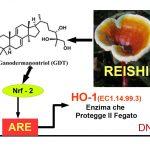 Il Reishi Protegge il Fegato