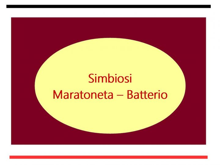 Simbiosi Maratoneta Batterio Veillonella