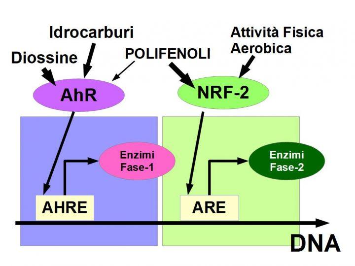 """Fase di Neutralizzazione degli idrocarburi Aromatici cancerogeni del Fumo, vernici, solventi, etc. Le diossine, fumo ed inquinanti ambientali, attivano il recettore arilico AhR, inducendolo ad entrare nel nucleo della cellula, legarsi in una porzione del DNA """"chiamato Elemento di risposta agli idrocarburi arilici AHRE, ed indurre gli eznzimi di fase-1 (Cyp450). I polifenoli della frutta e l'attività fisica, prevengono i danni delle sostanze cancerose, attivando il fattore nucleare della respirazione NRF-2, che migrando nel nucleo, si lega all'elemento di risposta antiossidante ARE, stimolando l'espressione degli enzimi di fase-2, che neutralizzano i radicali liberi e le sostanze tossiche prodotte dalla fase-1."""