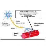Acetilcolina: la scintilla Muscolare