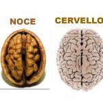 Il Cervello Sembra una Noce