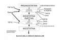 Muscoli e Miostatina