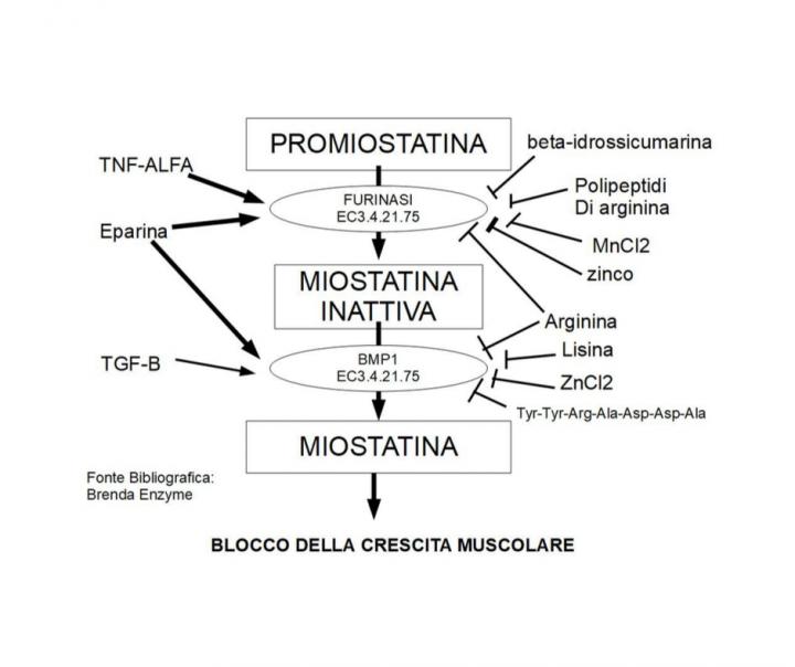Biosintesi della miostatina: Enzimi coinvolti: Furinasi EC3.4.21.75 e BMP1 EC3.4.24.19