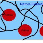 Il Segreto della Salute è nella Matrice Extracellulare