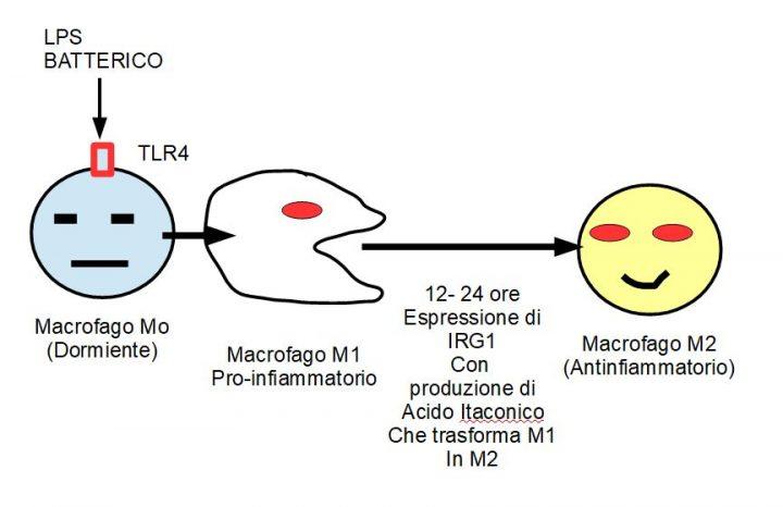 L'Acido Itaconico: Un freno per i Macrofagi