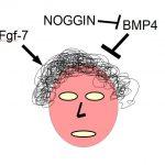 I fattori di crescita dei capelli