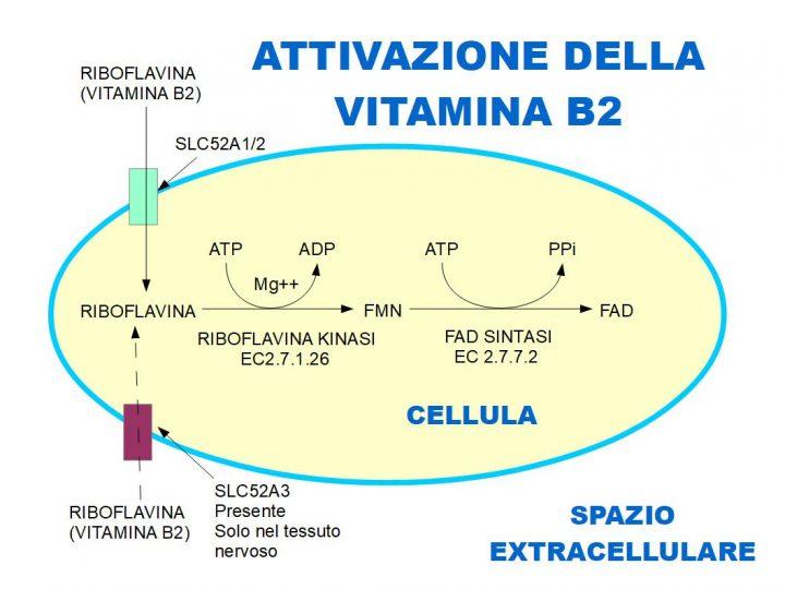 Riboflavina: Vitamina fluorescente