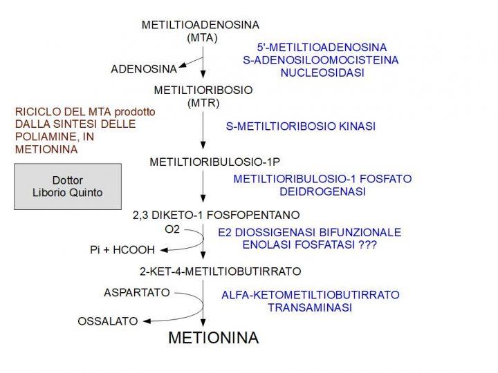 Poliammine ed EIF5A riciclaggio della METILTIOADENOSINA in metionina.