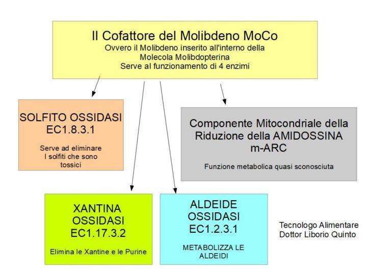 Il Metabolismo del Molibdeno