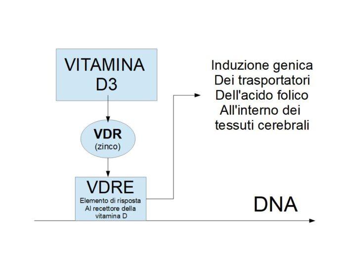 La Vitamina D3 sembra aumentare l'ingresso dell'acido folico nel cervello